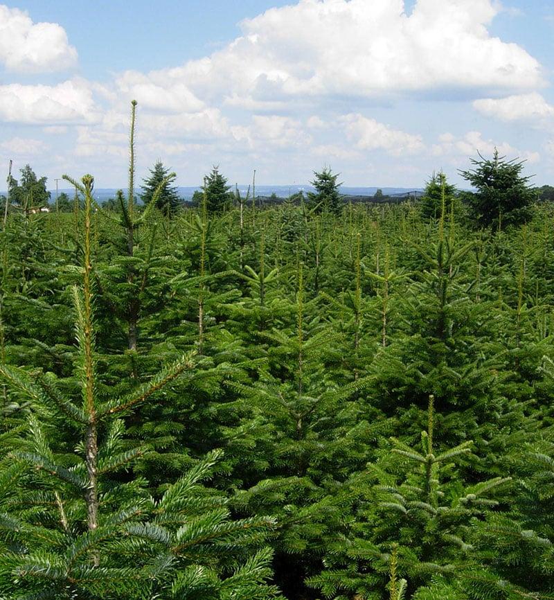 Baumkultur von Weihnachtsbäumen
